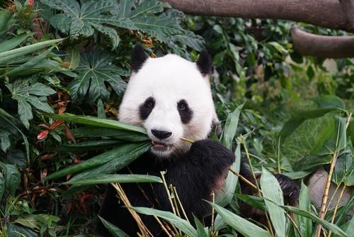 panda-san-diego-zoo-bamboo
