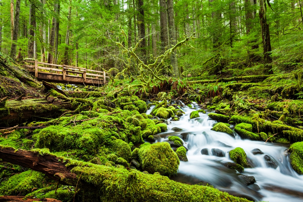 olympic-national-forest-trees-and-bridge