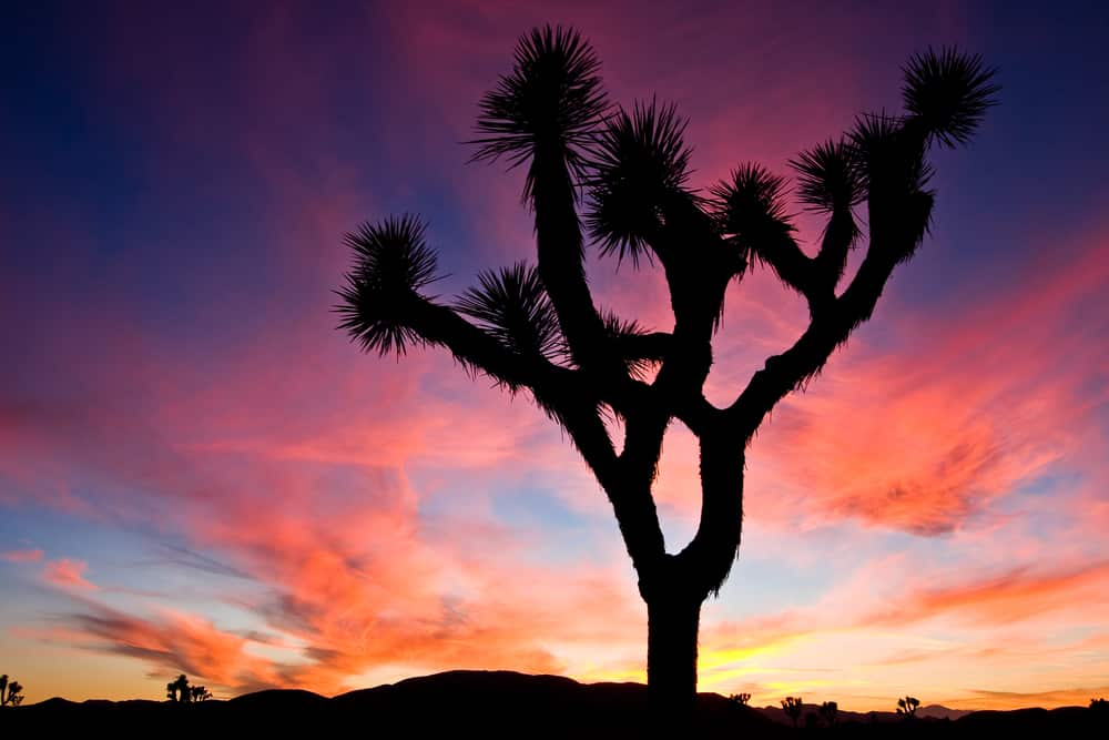 joshua-tree-silhouette-at-sunset