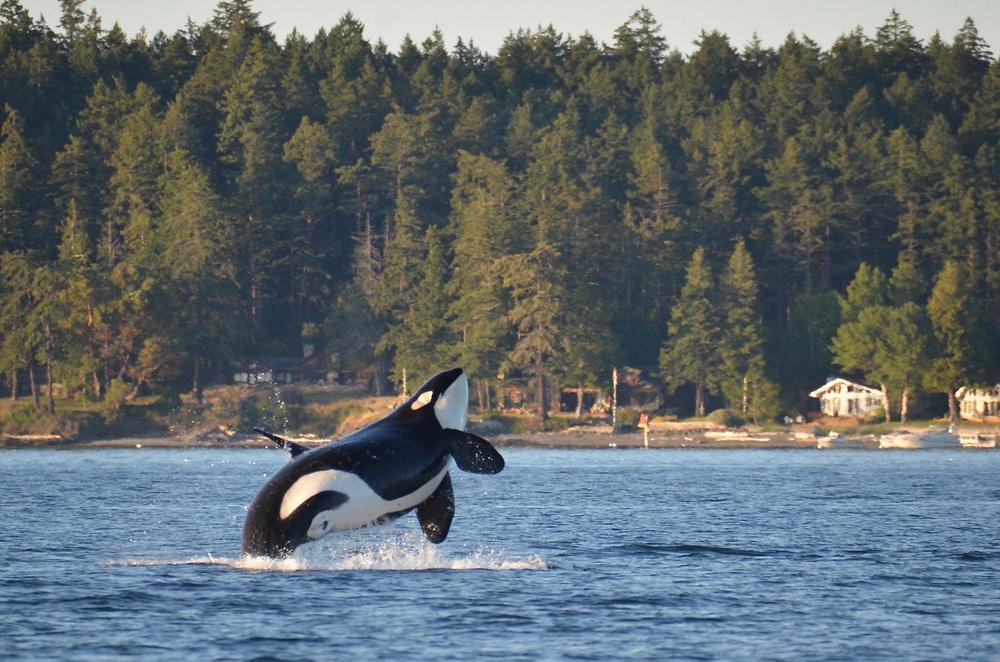 whale-watching-in-washington