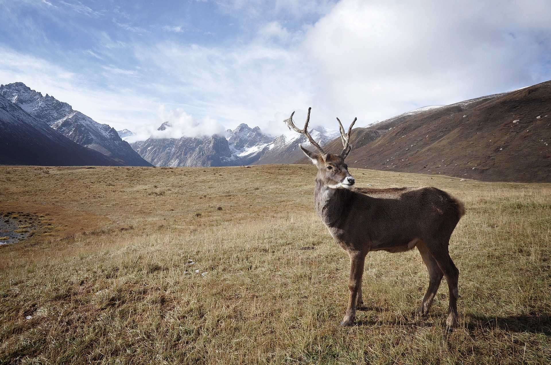 Caribou, deer, reindeer