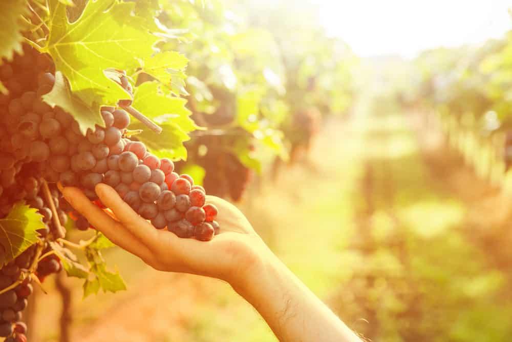 grape-harvest-in-vineyards